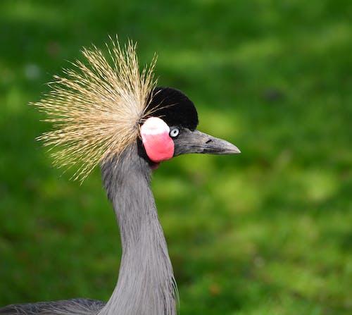 คลังภาพถ่ายฟรี ของ นก, นกกระเรียน, นกกระเรียนมงกุฎเทา, สัตว์