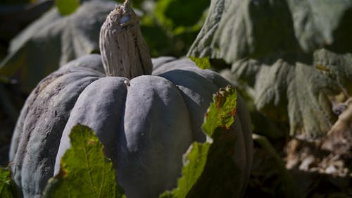 Free stock photo of green pumpkin, pumpkin patch