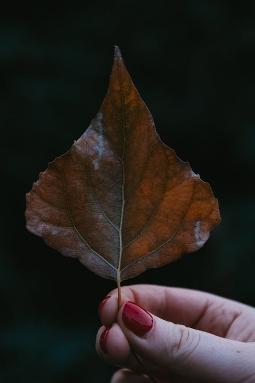 Hand Holding Brown Maple Leaf