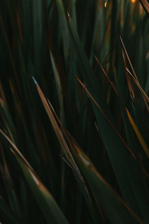 アガベ, イラスト, シャープの無料の写真素材
