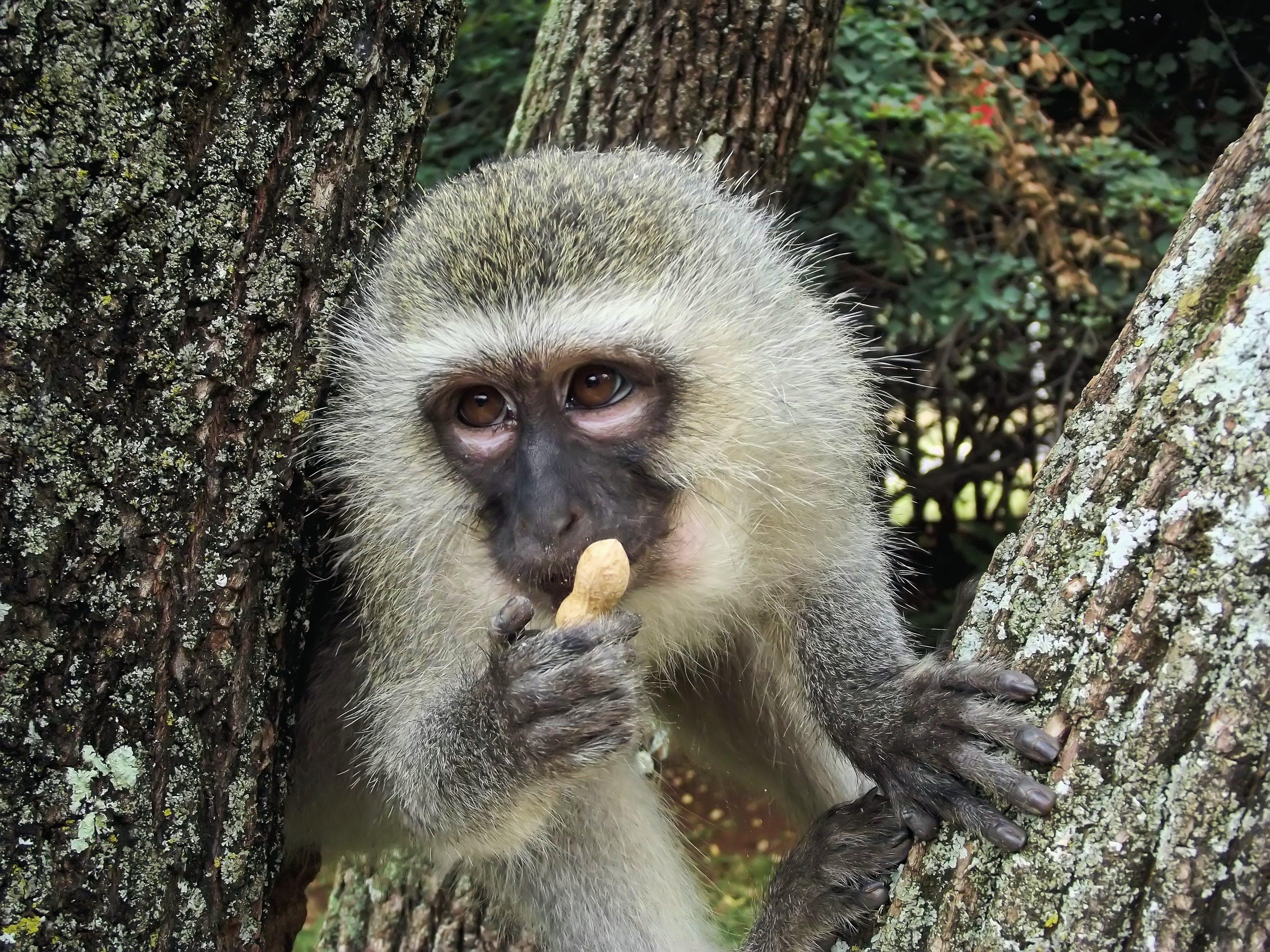 Gray and Black Monkey Holding Peanut