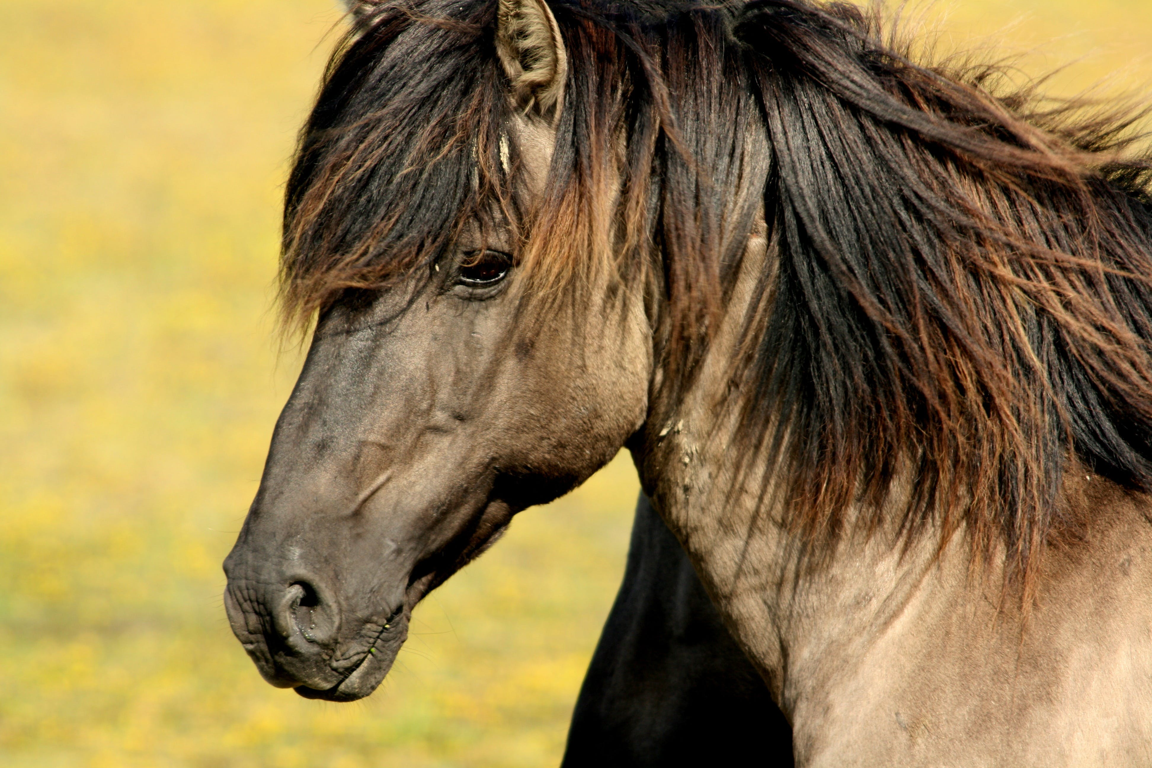 Brown Black Horse