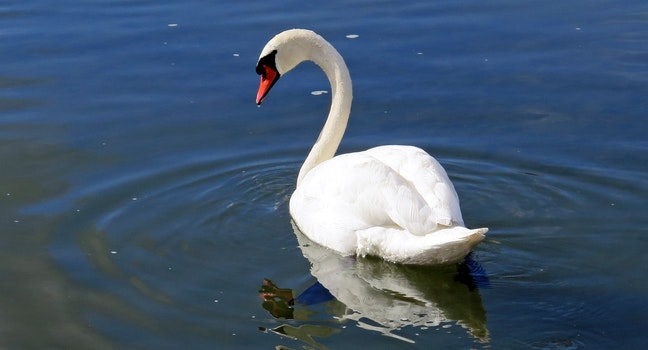 White Swan in the Body of Water