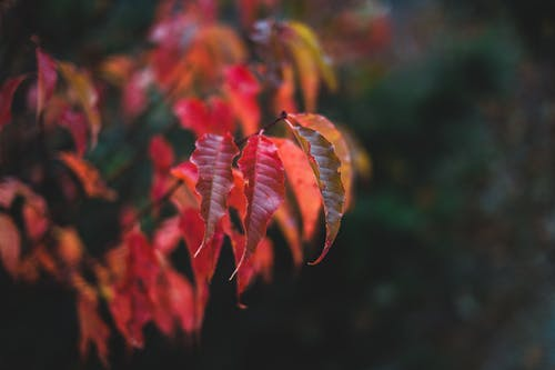 Autumn leaves of plant with thin branches