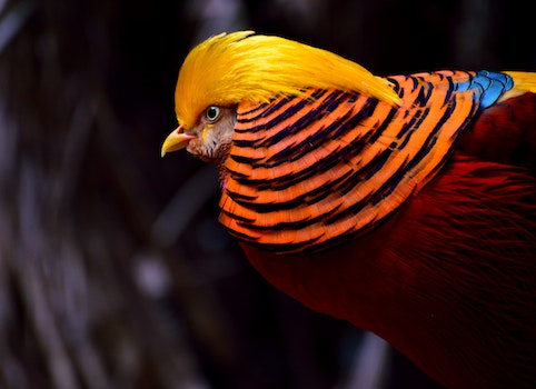 Red and Yellow Chicken