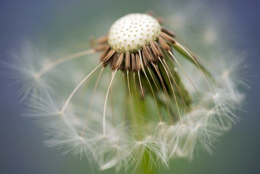Close Up Photography of Dandelion