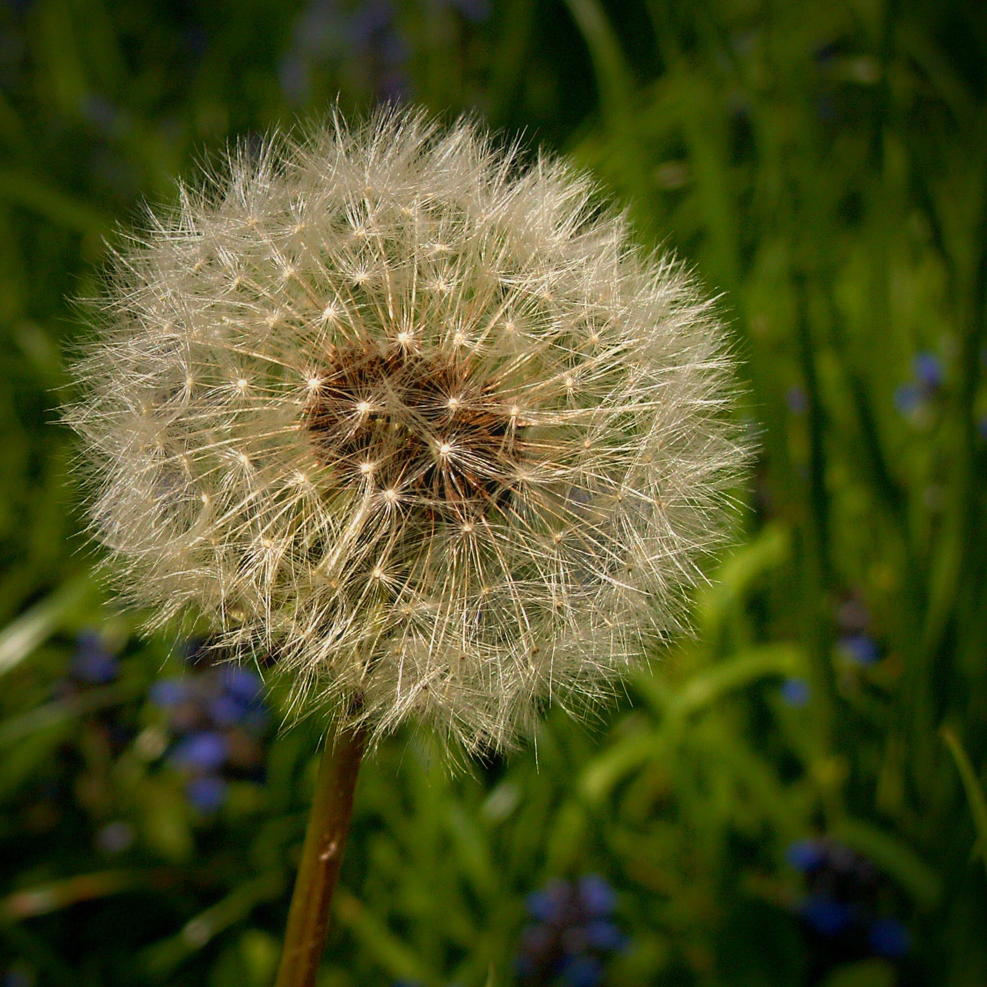 Dandelion in Focus Photography