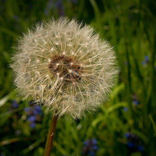 คลังภาพถ่ายฟรี ของ ดอกแดนดิไลออน, ต้นไม้, เมล็ดดอกแดนดิไล, แมโคร