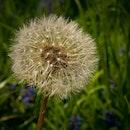 plant, macro, dandelion