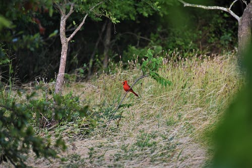 Red Cardinal Bird Perched on Plant