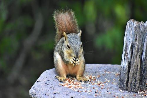 Fotos de stock gratuitas de al aire libre, animal, ardilla