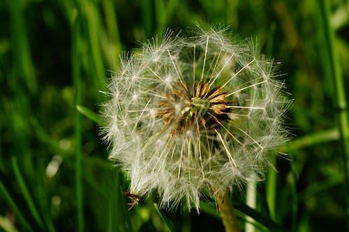 Imagine de stoc gratuită din dintele-leului, floare, floră, natură