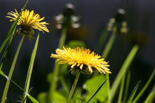 Kostnadsfri bild av blomma, blommor, flora, gul
