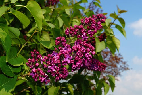 Ảnh lưu trữ miễn phí về cây sơn mai hoa, hệ thực vật, hoa, Thiên nhiên