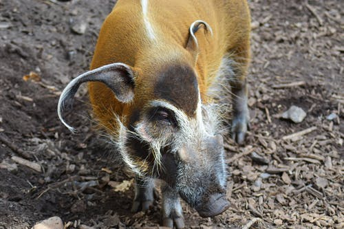 Brown and Black Warthog