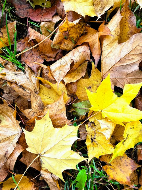 Fallen Maple Leaves on Ground