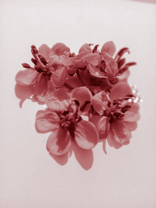 Top view of small delicate flowers with gentle pink petals with stamens placed on white background in modern light studio