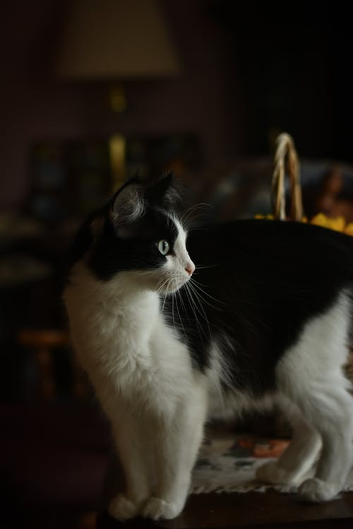 Profile of Black and White Cat