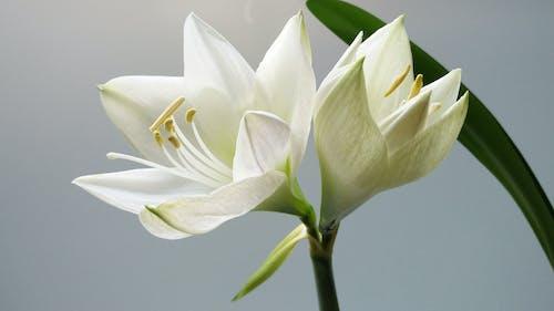 Close-up Photography of White Amaryllis Flowers