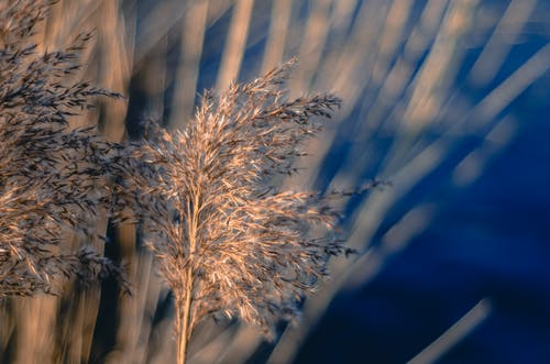 Free stock photo of nature, silver grass