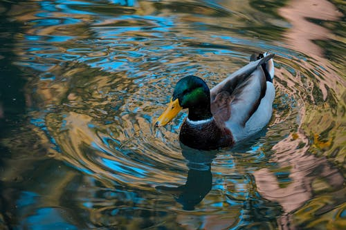 High angle of graceful Anas platyrhynchos duck floating on surface of peaceful pond on sunny day