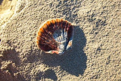 ビーチ, 化石, 砂, 貝殻の無料の写真素材