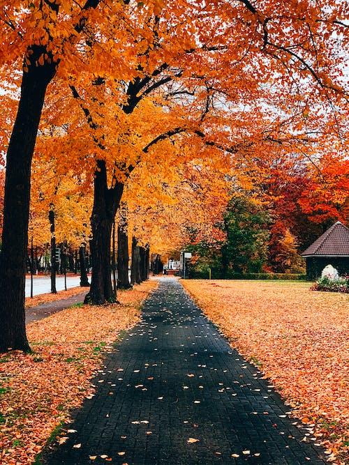 Immagine gratuita di acero, alberi, autunno