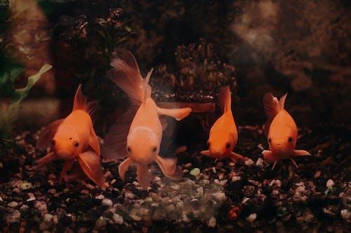 Kostnadsfri bild av akvariefisk, havsdjur, karp