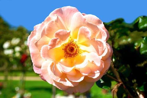 Immagine gratuita di bocciolo, crescita, fiore, flora