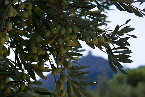Free stock photo of olive tree, olives, tree