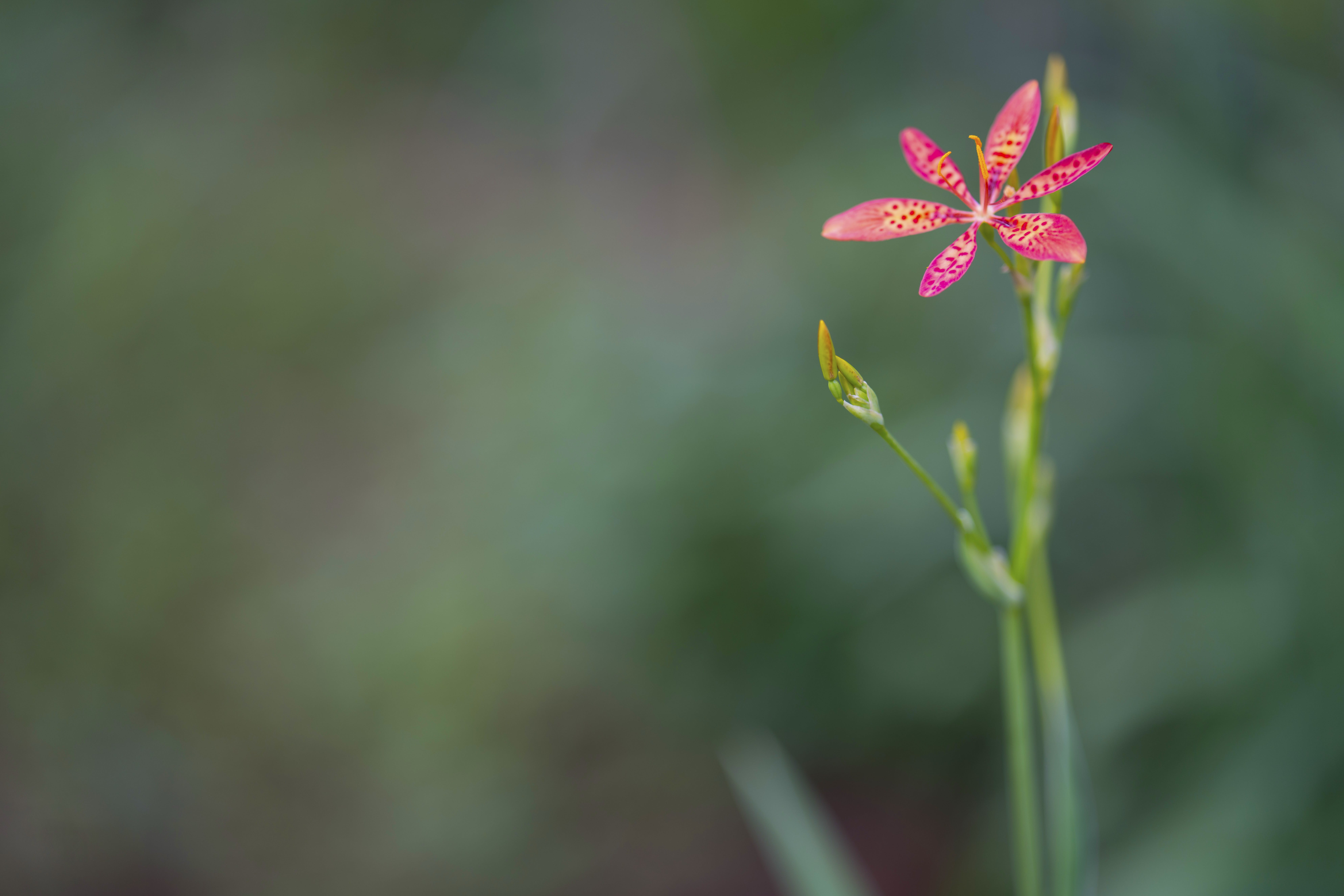 Selective Focus Photography Ofpink Petaled Flower