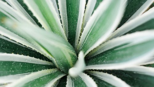 From above of fresh exotic flower with green spiky leaves with thorns and white sides growing in garden in summer