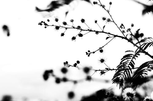 Black and white of small flowers and leaves on long thin branches on white background