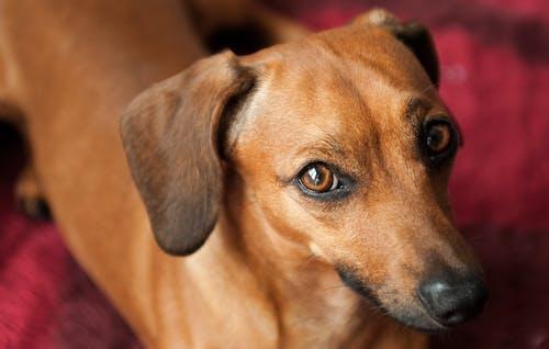 Brown cute dachshund standing on sofa