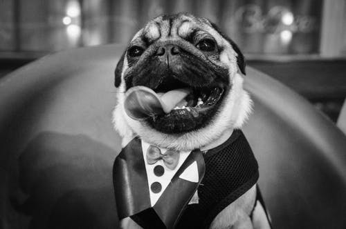 Black and white of adorable little pug in costume sitting on chair and looking at camera