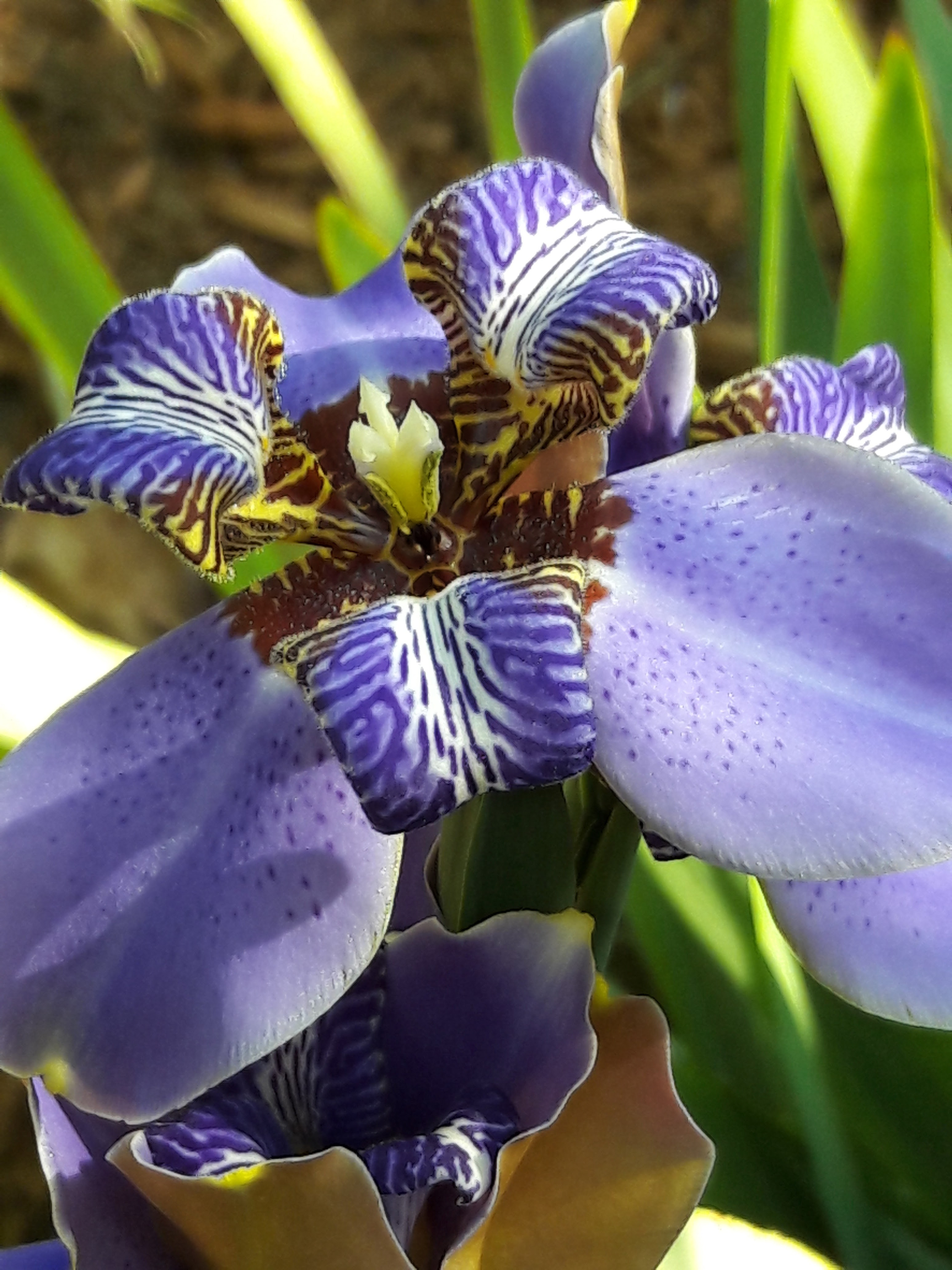 Free stock photo of flower iris nature free download izmirmasajfo Images