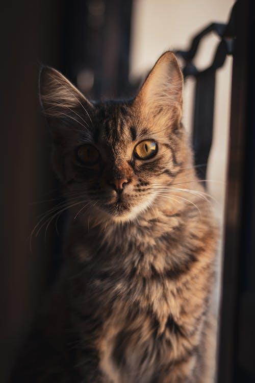 Close-Up Shot of a Tabby Cat Looking at Camera