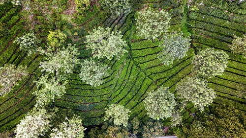 Drone view of lush green trees blooming apple trees with blossoms on spring day surrounded by rows of bushes growing on plantation