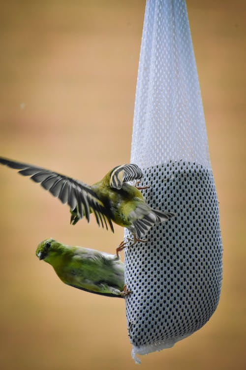 Cute American goldfinch birds pecking seed from sock feeder