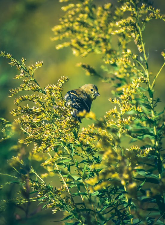 Adorable Spinus tristis bird sitting on blooming Solidago canadensis plant in sunlight