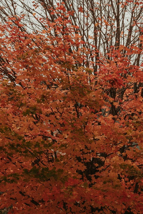 Lush bright red maple tree growing in park against cloudy gray sky in autumn