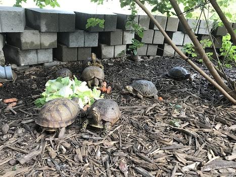 Free stock photo of reptile, box turtle