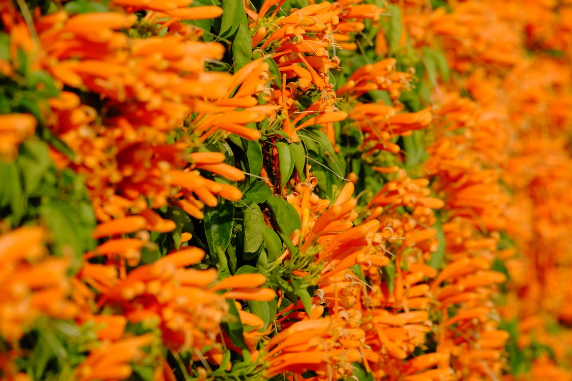 apelsin, blåklocka, blomma