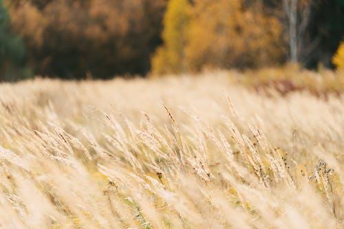 Photos gratuites de aube, automne, blé, campagne