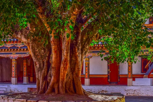 Free stock photo of banyan, banyan tree, bark, big tree