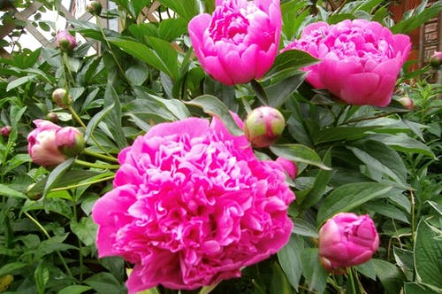 คลังภาพถ่ายฟรี ของ ดอกพีโอนี