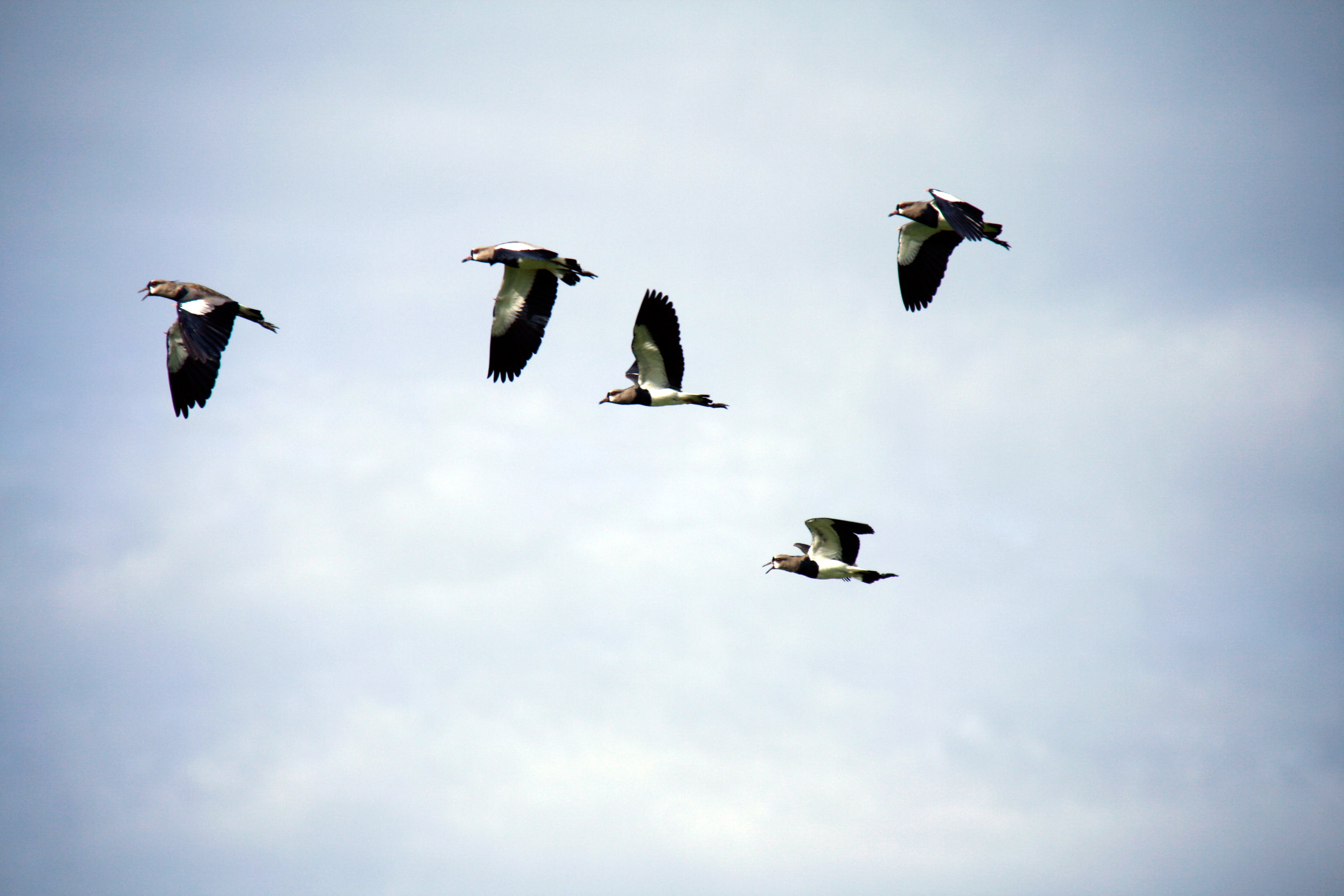 Free stock photo of flying, birds, pigeons
