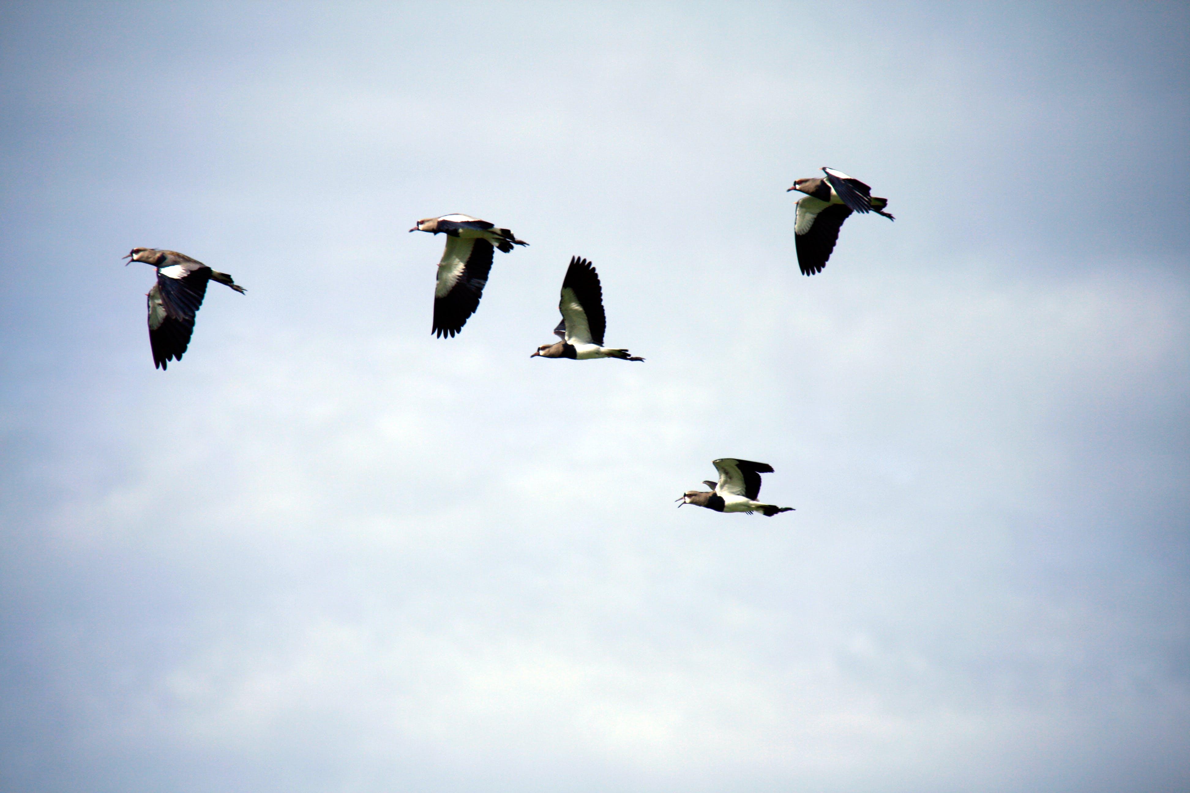 Five Gray Birds Flying Under Gray Sky