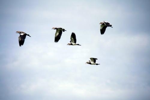 Gratis arkivbilde med fly, fugler