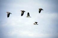flying, birds, pigeons